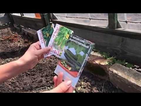 Посадка огурцов без хлопот 2015.Посев огурцов в грунт.