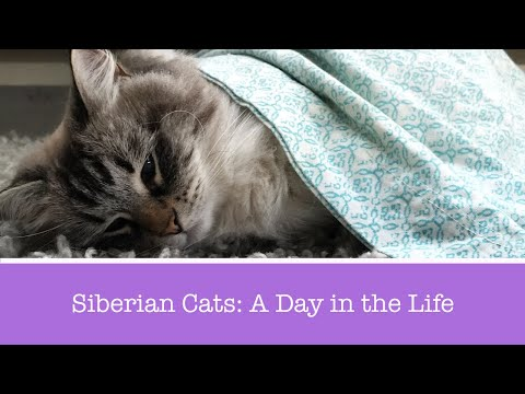 A Day in the Life of a Siberian Cat