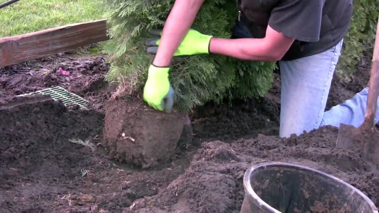 How to Plant Cedar Trees