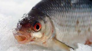 Ловля плотвы зимой на безмотылку видео