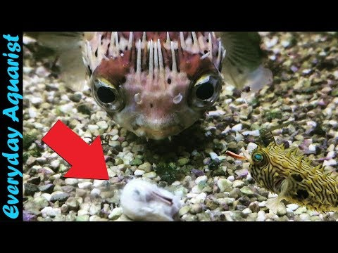 These PUFFER FISH Are So CUTE | Feeding 8 Different Species Of Puffer Fish Compilation