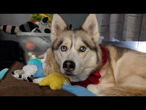 LIVE with The Huskies ! Q&A And Shelby Lump Results