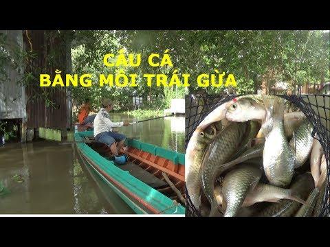PHÁT HIỆN MỒI MỚI CÂU CÁ SÔNG BẰNG TRÁI GỪA (CÂY SI) VÀ KẾT QUẢ THẬT BẤT NGỜ  –  FISHING