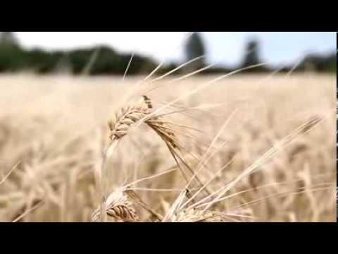 036 Single wheat stalk swaying - YouTube
