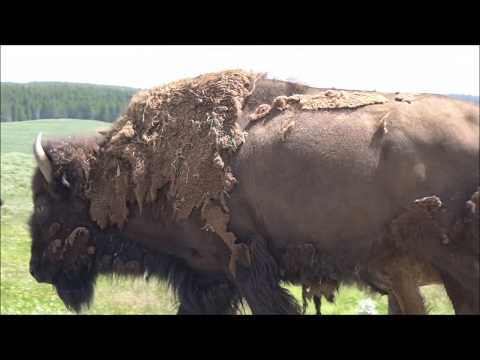 Yellowstone National Park (1/4): BISON