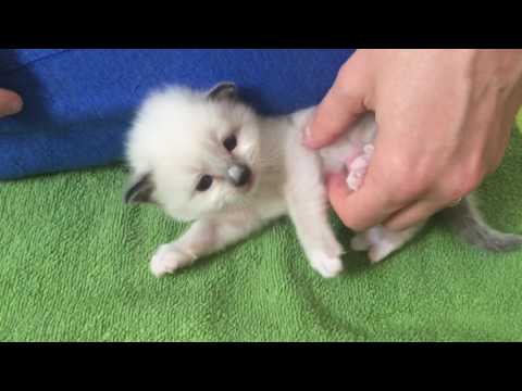 Scratching Birman cat belly