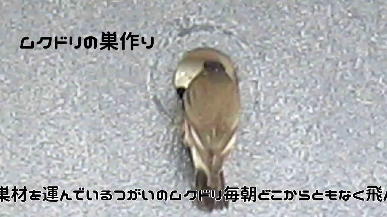 ムクドリの巣作り