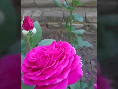 Роза Биг перпл Обзор для любителей малинового