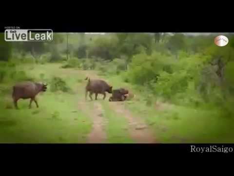 [HD] Trâu rừng ra đòn, hạ gục Sư tử cứu bạn