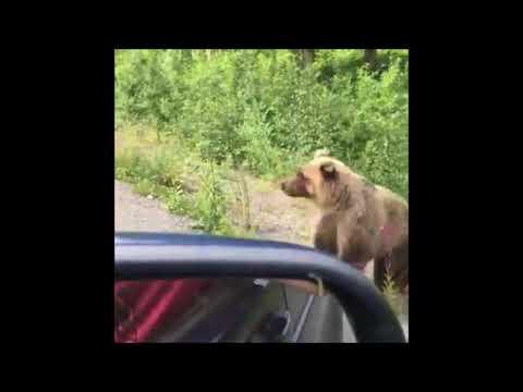 Медведя, побирающегося у водителей по дороге в Малки, сняли на видео