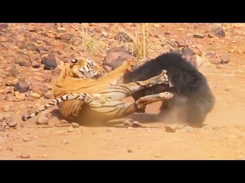 Ozzy Man s: Sloth Bear vs Tiger