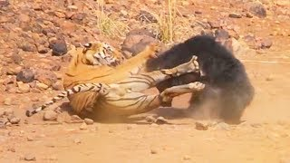 Ozzy Man Reviews: Sloth Bear vs Tiger