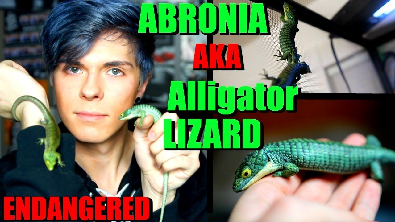 all-about-the-abronia-graminea-mexican-alligator-lizard