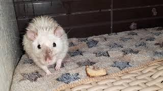 Купание крысы