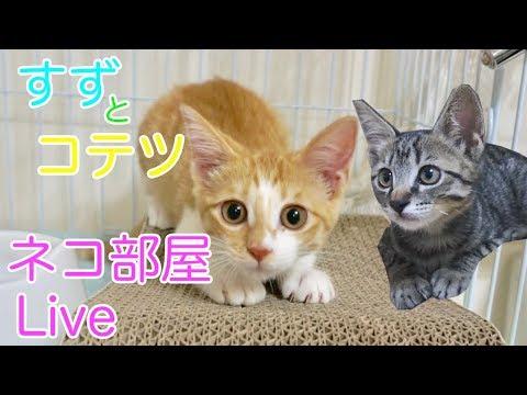 【ネコ部屋Live】子猫のすずとコテツの部屋 ~Kittens Room~【すず/コテツ】