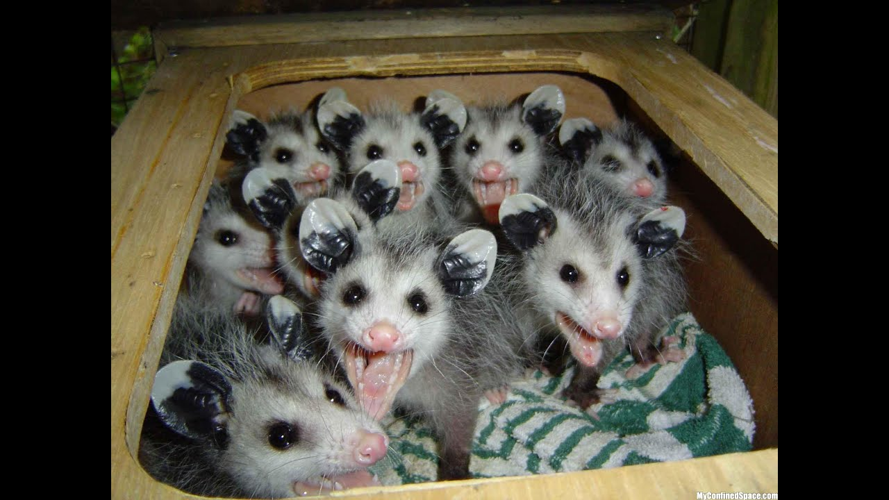 how to catch a opossums live trap youtube