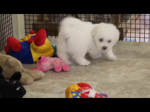 Bichon Frise Puppy For Sale