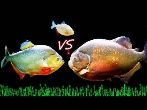 Red Belly Piranha VS Caribe Piranha VS Piraya Piranha  [LET THE BATTLE BEGIN]