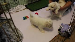 Coton Puppies For Sale - Foxy 12/3/19