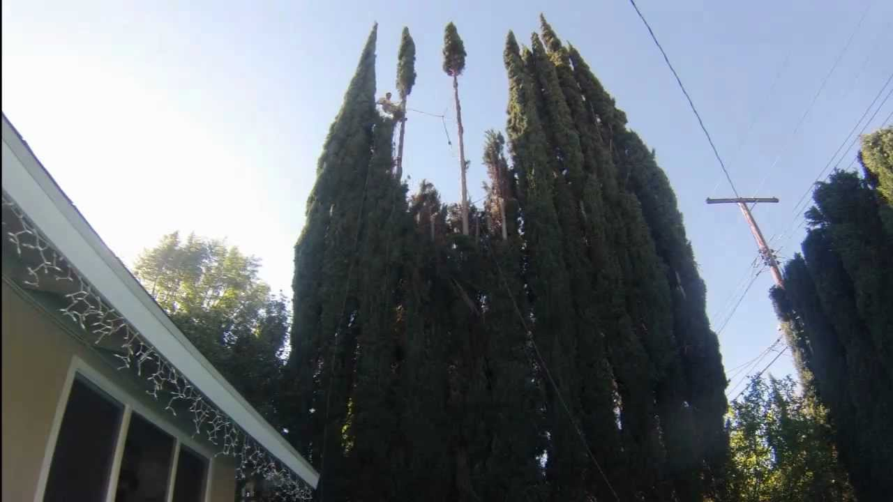 Trimming Italian Cypress Trees Youtube