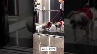 [Vlog] 시츄 강아…