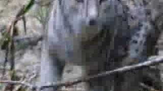 iberian lynx adults