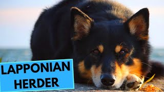 Lapponian Herder - TOP 10 Interesting Facts