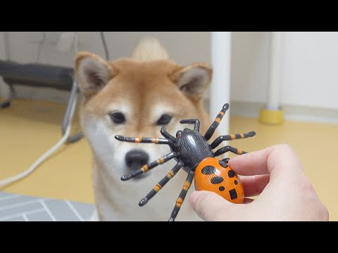 Dog Biting Owners Hand While Trying to Catch a Spider LOL