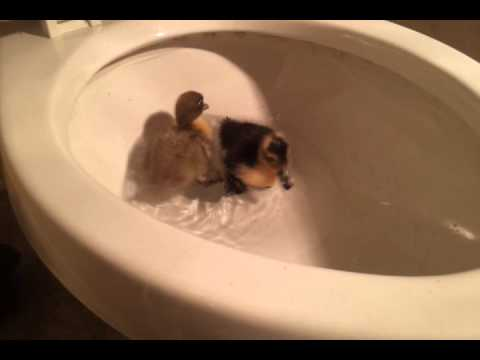 Baby ducks swimming in toilet bowl - YouTube