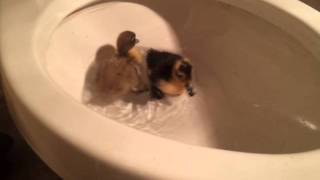 Baby ducks swimming in toilet bowl