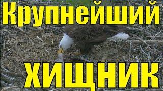 Белоголовый орлан Хищные птицы крупнейший хищник планеты / 4