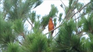 120813Ruddy Kingfisherアカショウビンの鳴き声