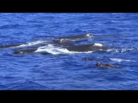 Sperm Whale Encounters   Dominica