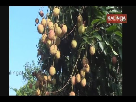 Litchi Farming In Kuchinda, Sambalpur | Kalinga TV