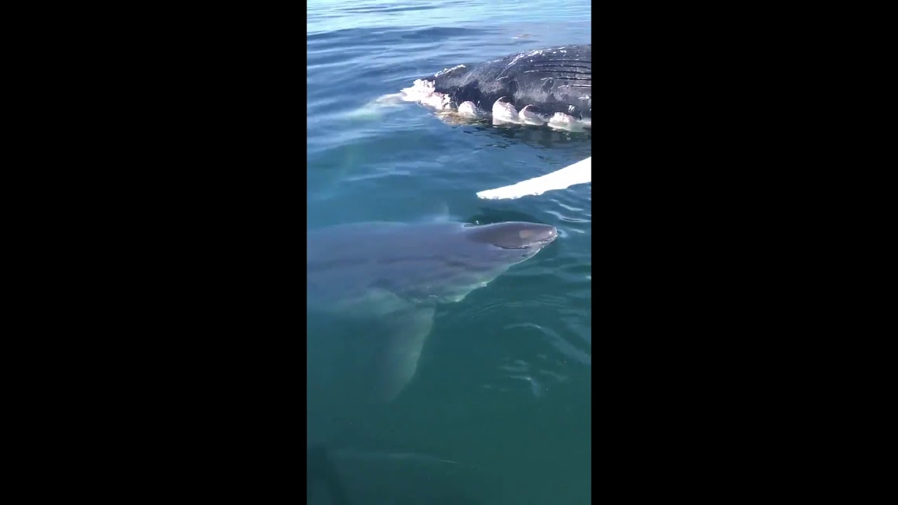Large great white shark brushes boat in Cape Cod Bay