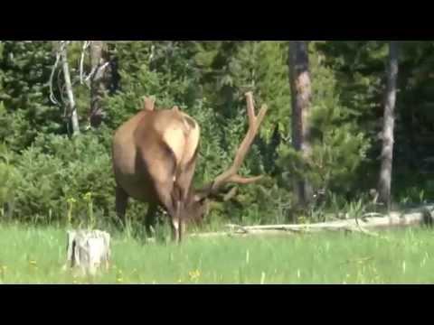 Yellowstone   7 July '14   Elk Encounter #8