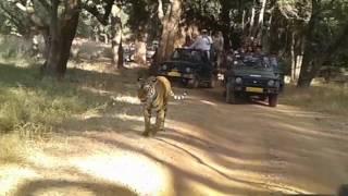 Ranthambor forest tiger at sawaimadhopur