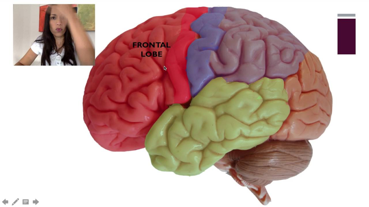 the description of the four major lobes of the human brain A human brain can weigh up to 3 pounds and is one of the largest organs of the body like the spinal cord, the brain is made of mainly gray matter and white matter arranged in distinct layers the top of the brain appears as a soggy, pinkish-gray mass that looks like a walnut.