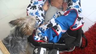 Yorkshire Terrier Tucks Baby In