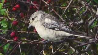 Video Masked Shrike at Kilnsea, Sept., 2014. download MP3, 3GP, MP4, WEBM, AVI, FLV Juli 2018