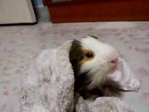 how to look after a guinea pig youtube