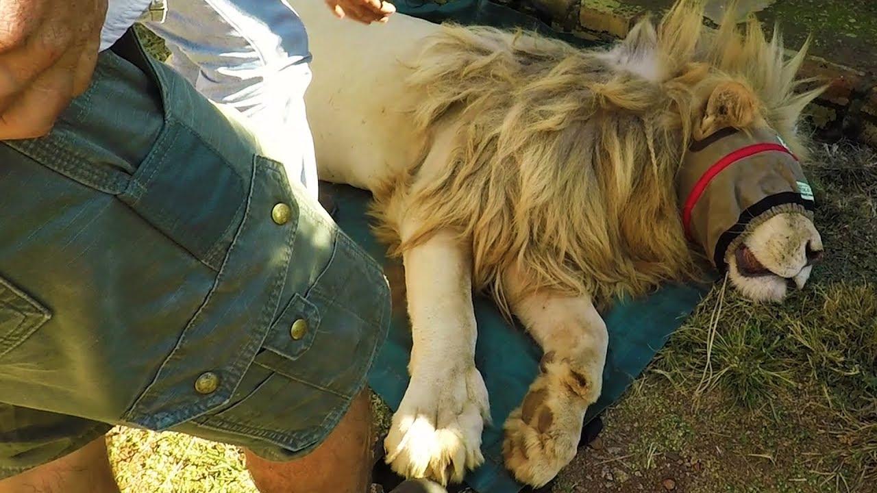 ingrown-claws-the-lion-whisperer