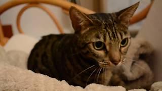 Бенгальская кошка мяукает и мурлычет под пледом)