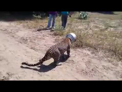 Tigar thumbnail
