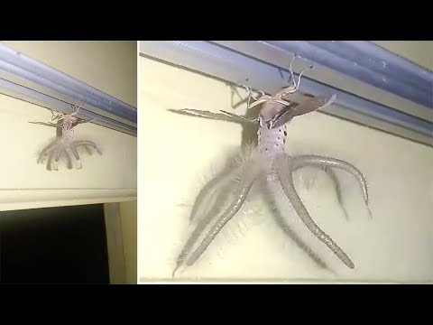Pacey Williams - Man Finds Alien-Like Creature Hanging from the Ceiling