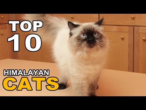 TOP 10 HIMALAYAN CATS BREEDS