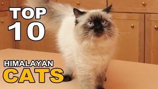 TOP 10 HIMALAYAN CATS BREEDS