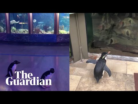 Penguins Openly Explore Aquarium Closed Due To Coronavirus