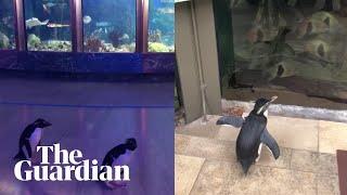 Penguins openly explore aquari…