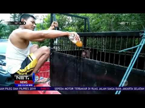 Tim BBKSDA Riau Selamatkan Seekor Beruang Madu Yang Tersangkut di Perkebunan   NET24